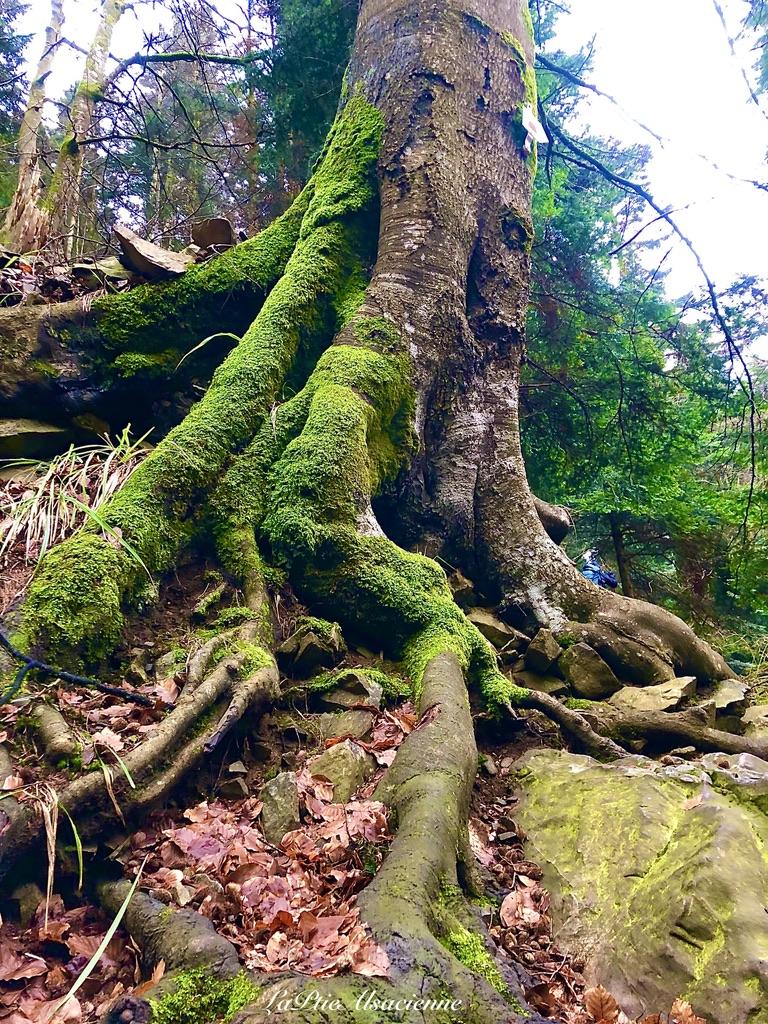 Les arbres s'adaptent au terrain rocheux et escarpé dans la montée de la cascade du Seebach - Photo de Cendrine Miesch dite LaPtiteAlsacienne