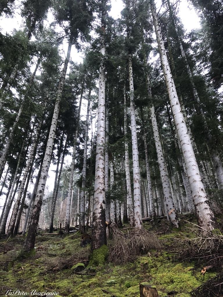 Hauteur des arbres sur le chemin - Rando Lac Ballon Cascade Seebach Gustiberg