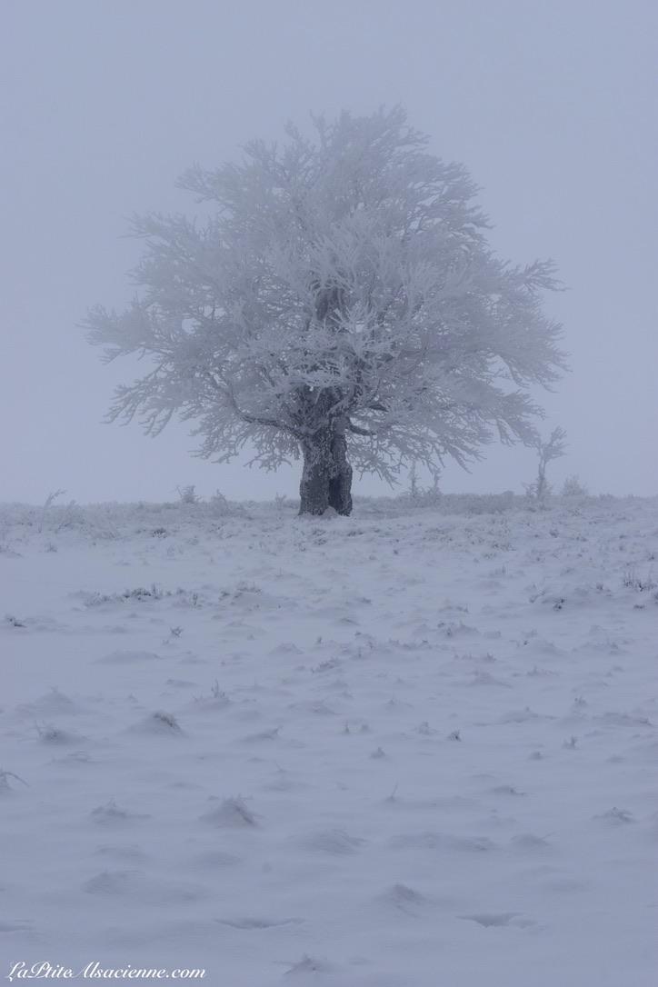 Un arbre gelé entouré de neige - Randonnée Markstein Grand Ballon - 09/02/2021 - Photo by LaPtiteAlsacienne - Cendrine Miesch