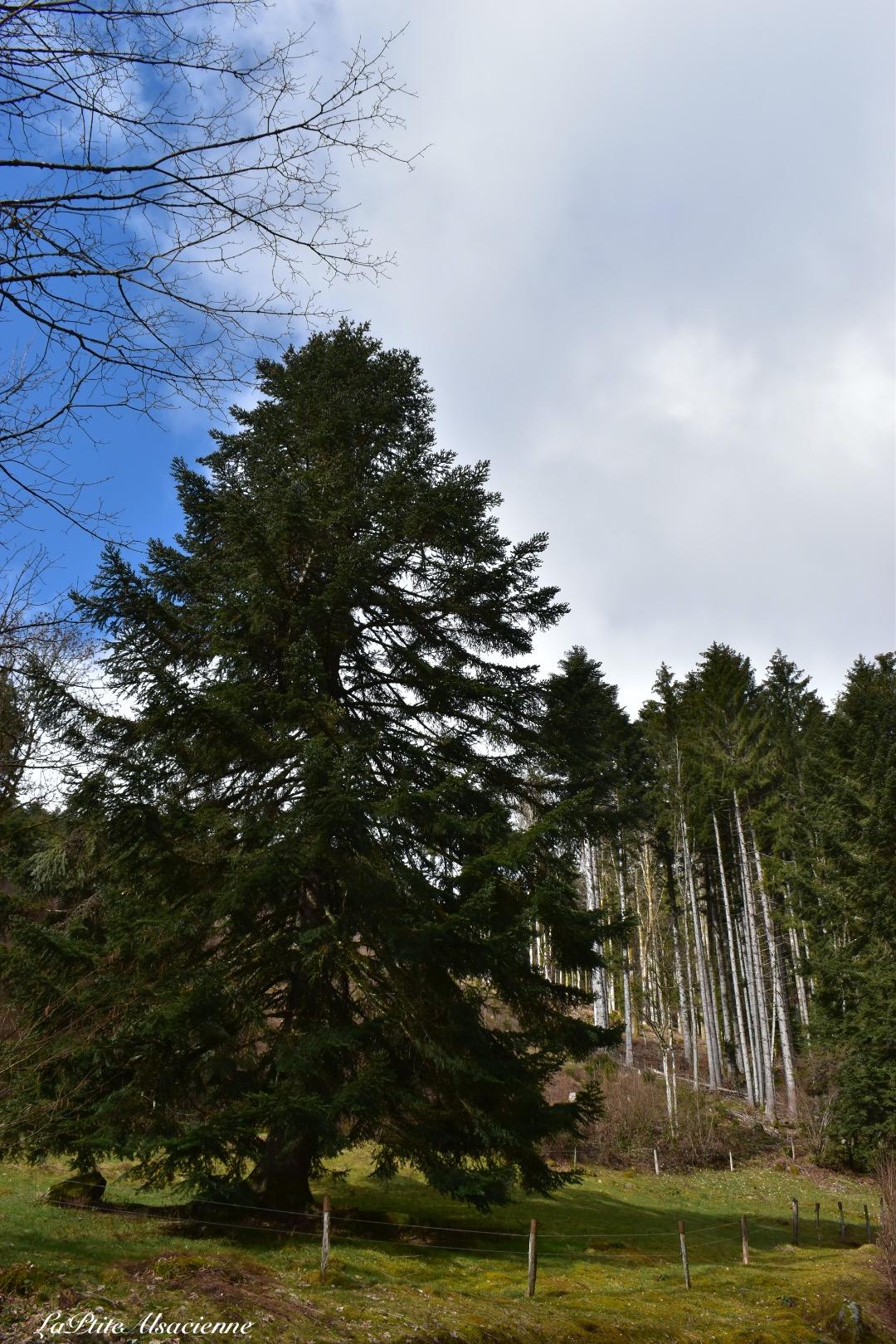 Sapin présent sur le sentier en direction de la Ferme Auberge Riesenwald et du Lac des Perches