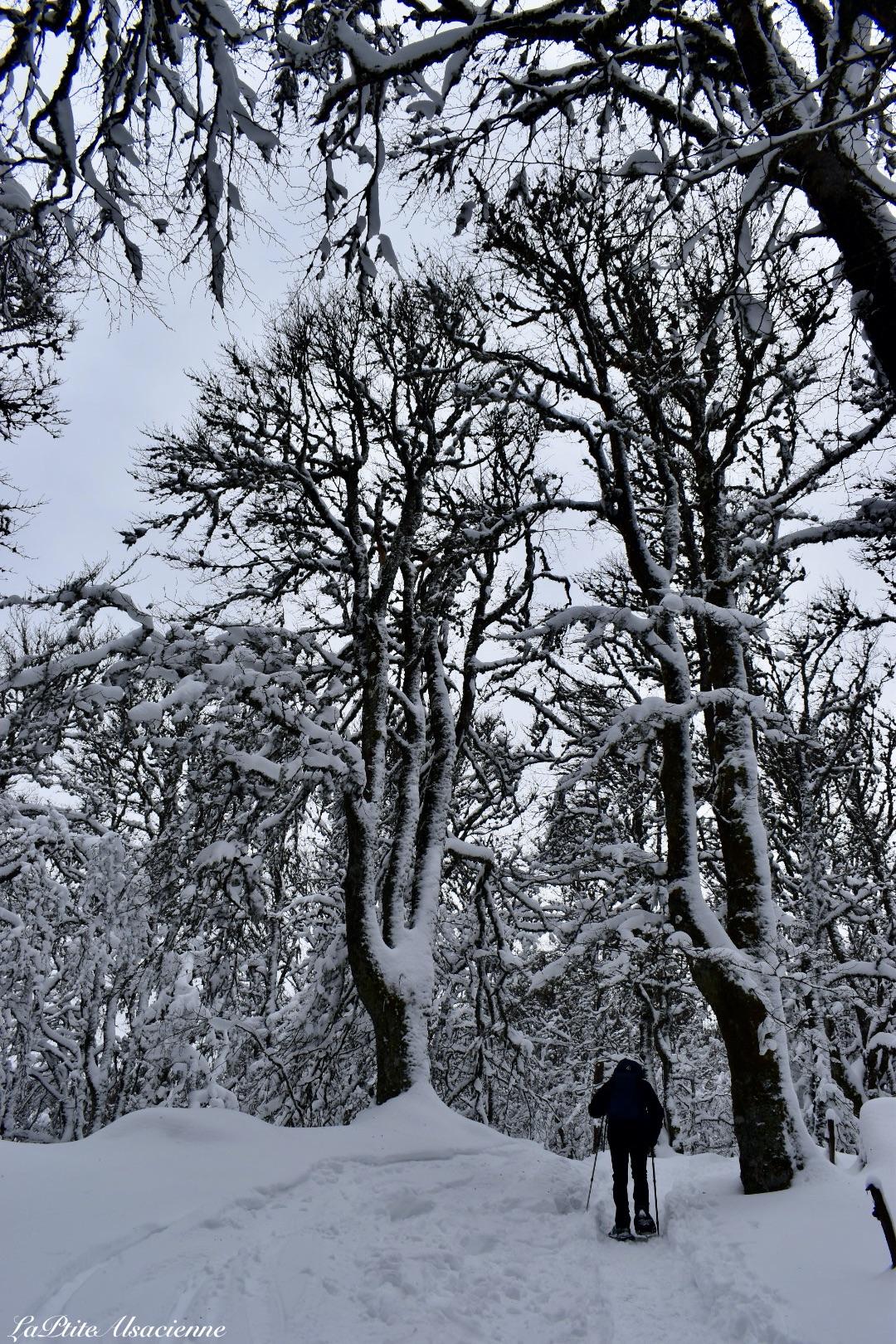 Montée enneigée vers le Petit Ballon sous les arbres