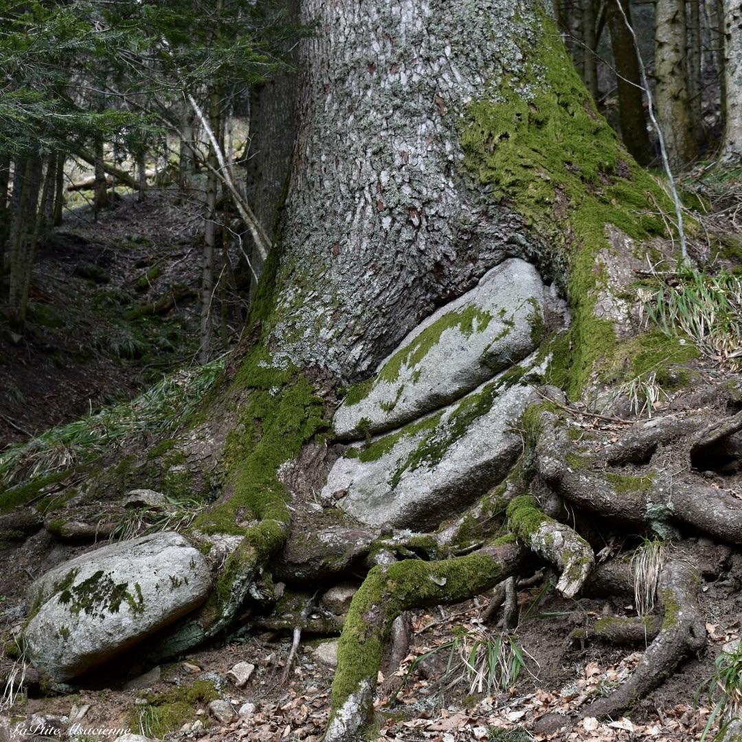 Arbre qui a poussé sur / autour d'un rocher, en direction du lac de Schiessrothried