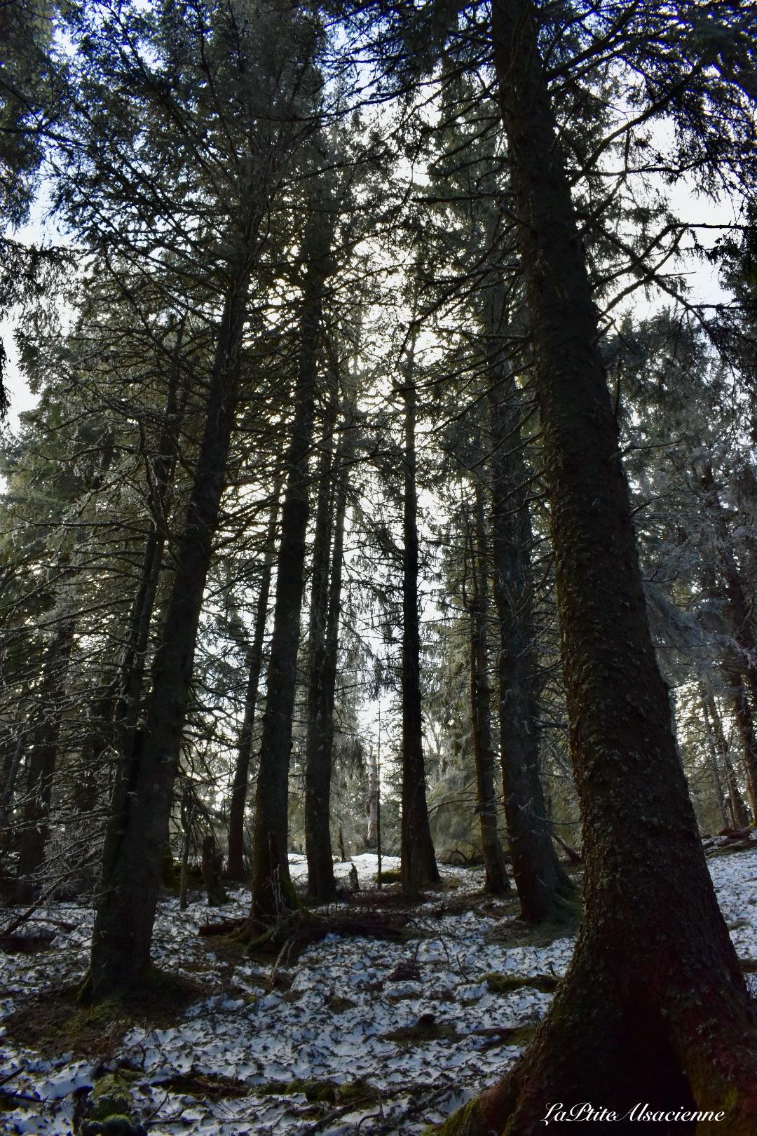 Sentier et arbres majestueux pour se rendre du Lac Blanc vers le Lac Noir