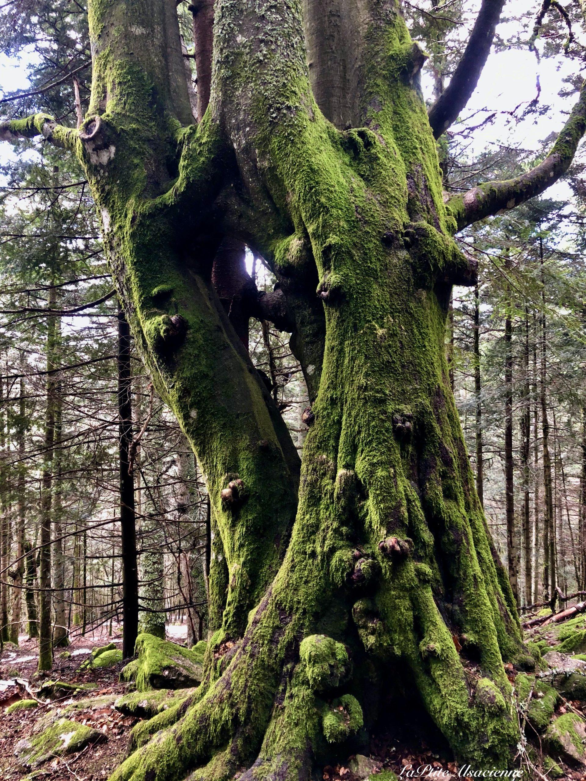 depart de randonnee deux arbres s'enlacent lac des perches