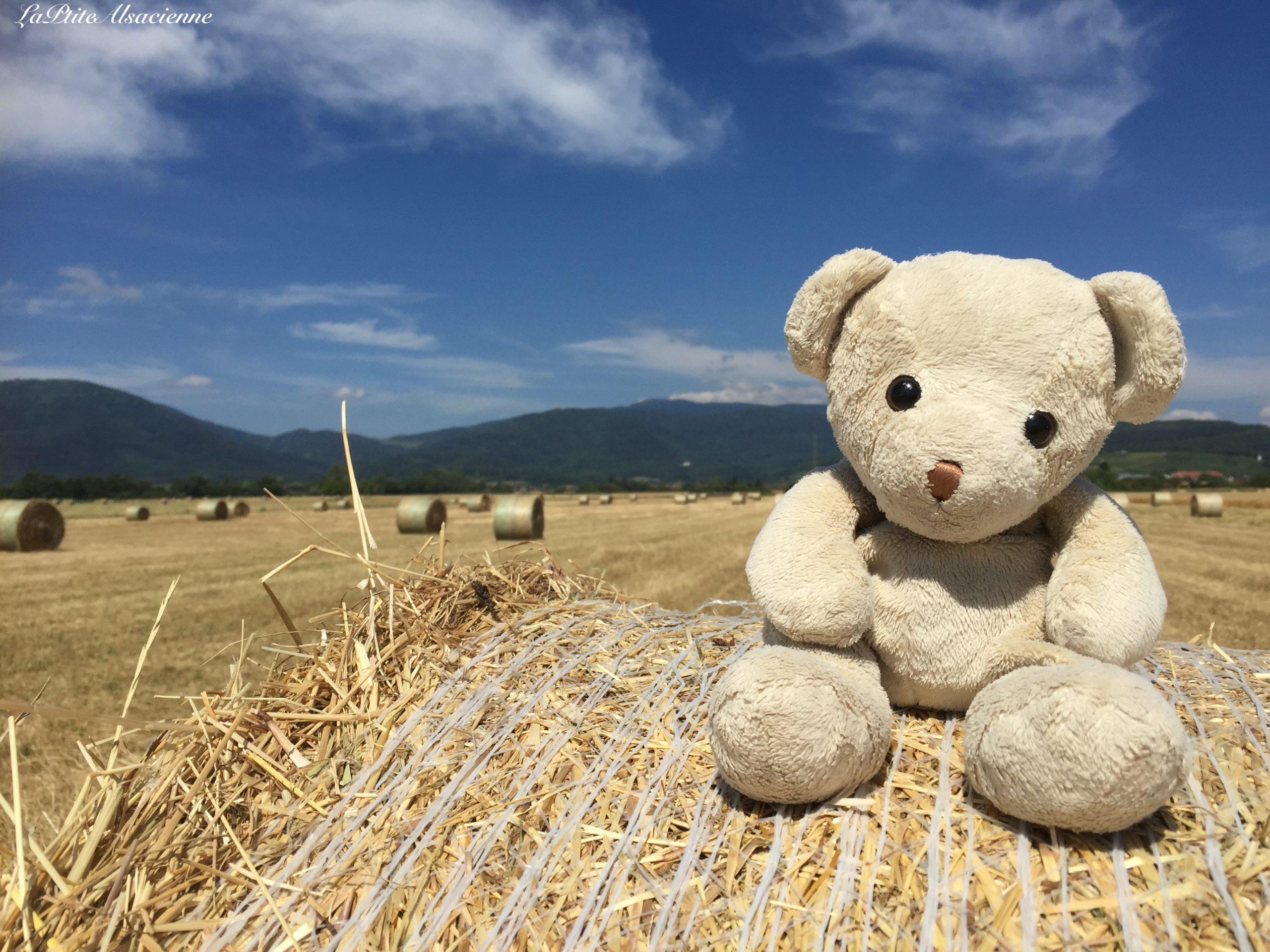 Doudou Sans Nom dans les champs de blé fraichement coupés vue sur le Grand Ballon du côté de Soultz-Haut-Rhin
