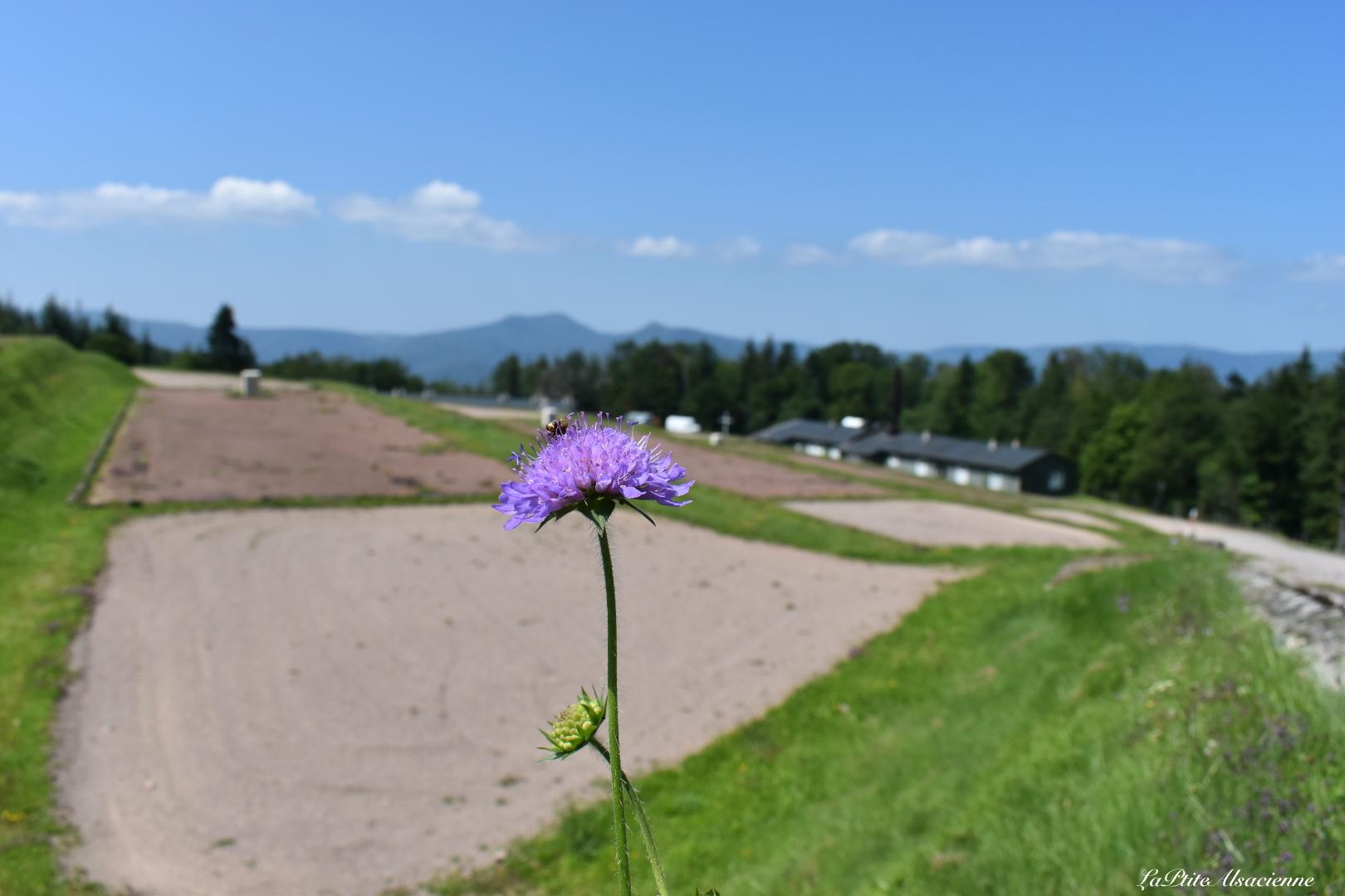 Même si l'histoire est terrible, nous renaitrons de nos cendres. Cette fleur nous prouve bien que la vie revient ! Photo de Cendrine Miesch au camp du Struthof.