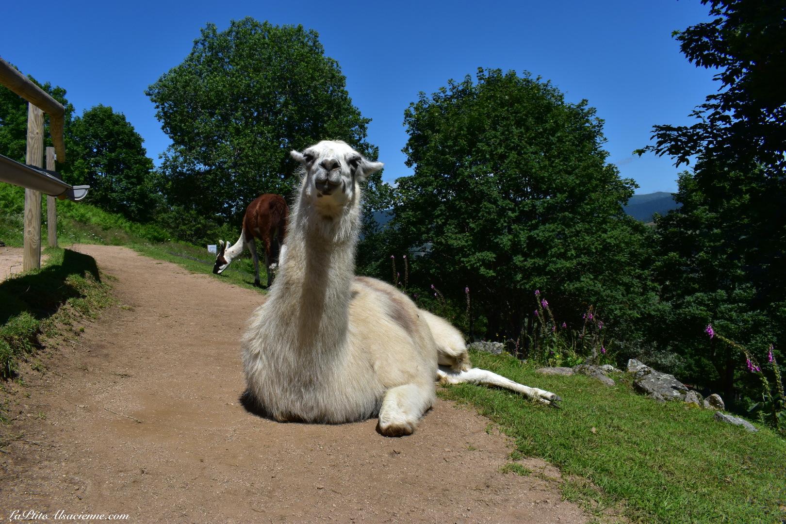 Oui, je suis installé au milieu du chemin ! Et alors ! - Montagne des Lamas à La Bresse - Photo de Cendrine Miesch dite LaPtiteAlsacienne