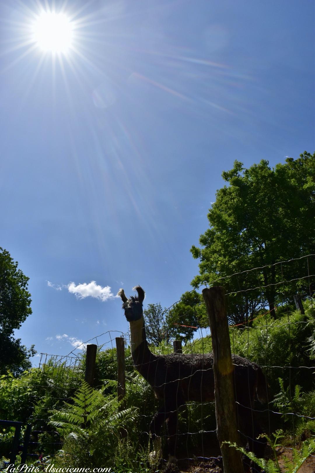 Lama en rute mis à l'écart - Montagne des Lamas à La Bresse