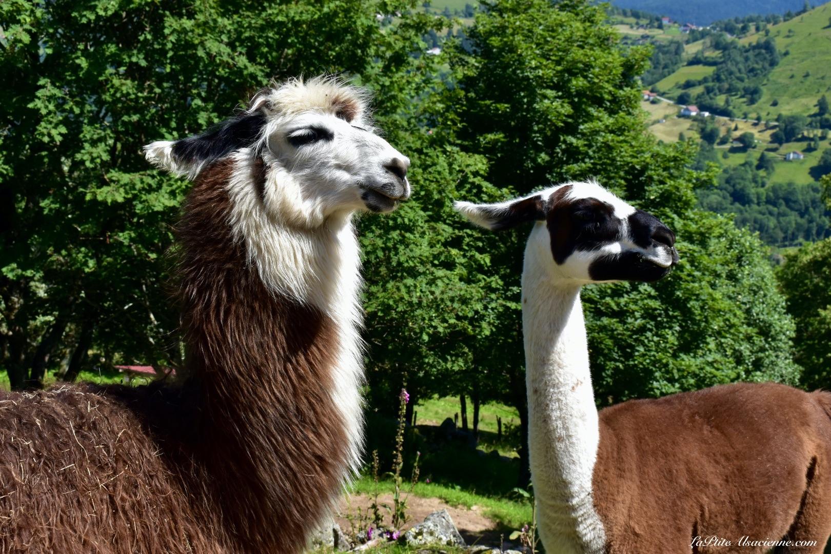 Comment ça, on vient de se cracher dessus ? Même pas vrai ! - Montagne des Lamas à La Bresse (La couchetat) Photo de Cendrine Miesch dite LaPtiteAlsacienne