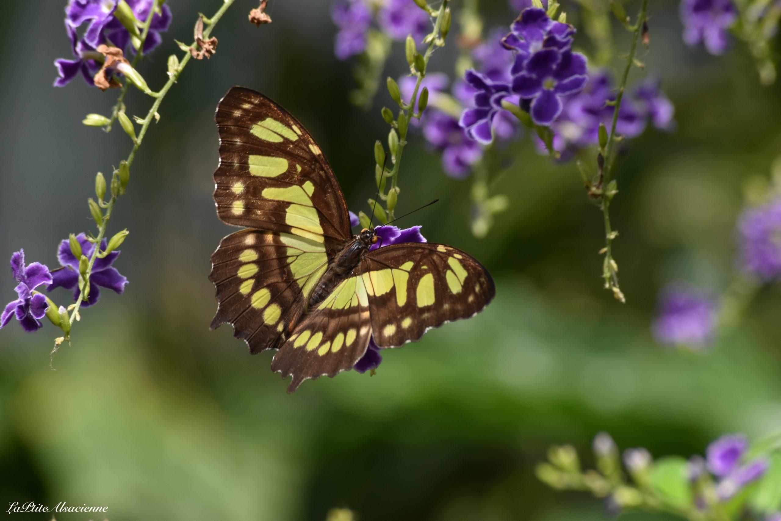 Jardin aux papillons - Hunawihr - Photo de Cendrine Miesch (2020)